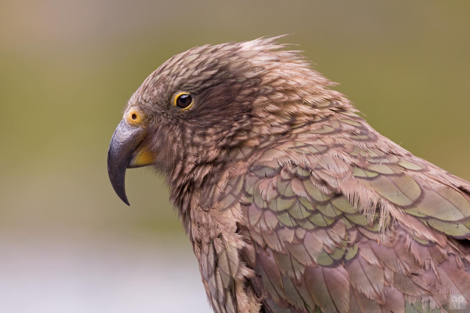 Kea - Neuseeland