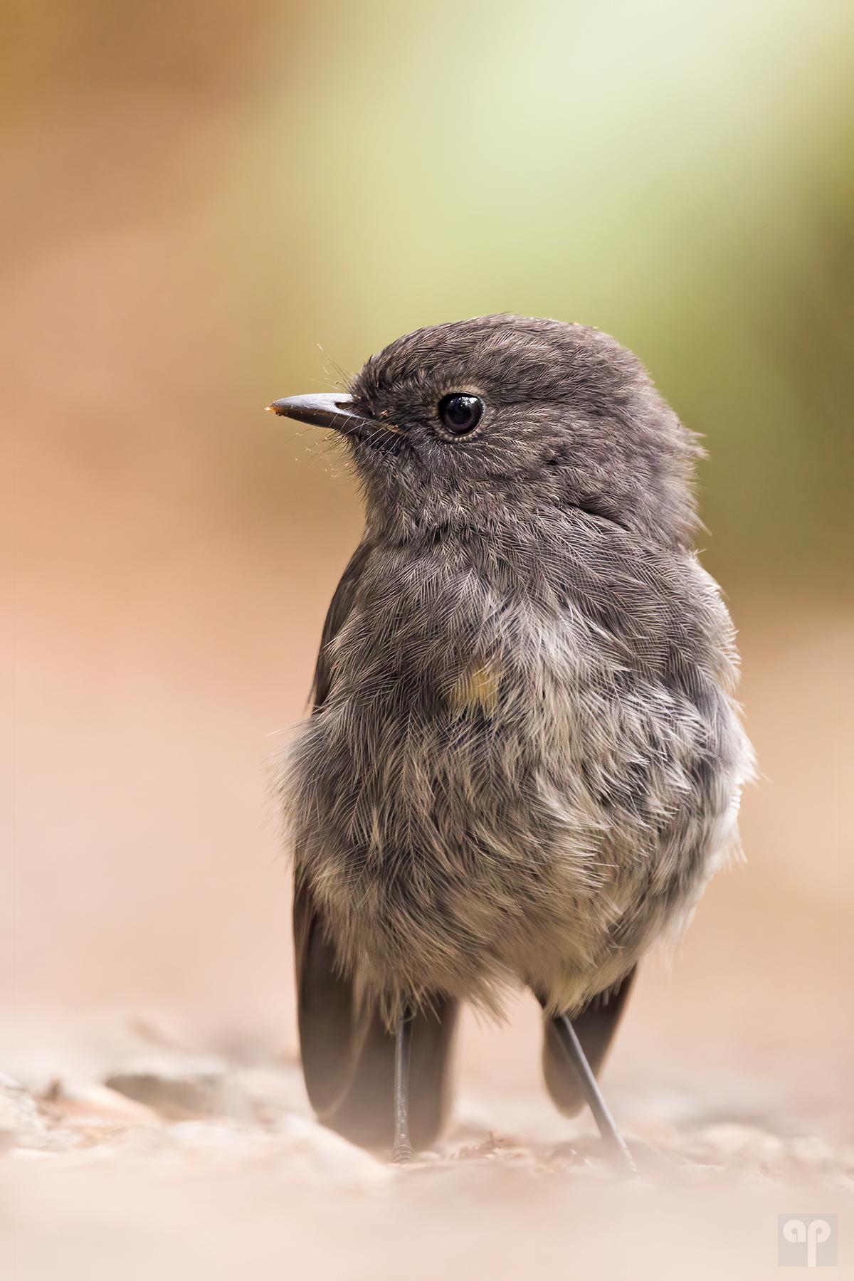 Robin - Neuseeland