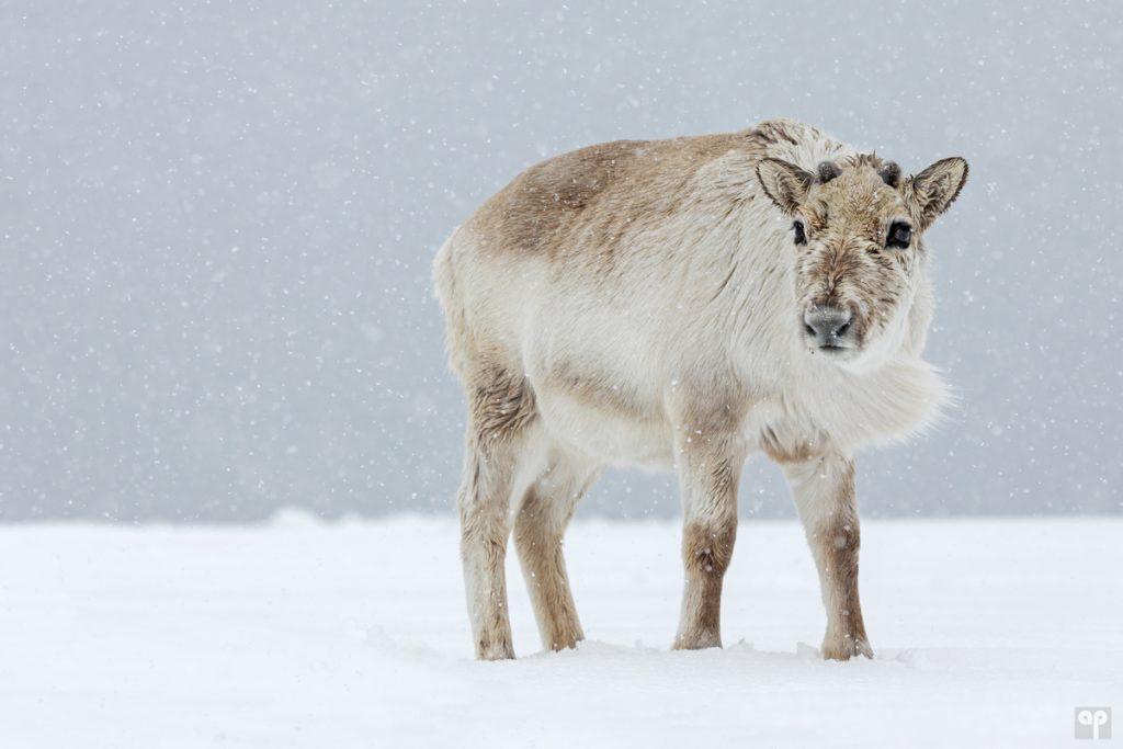 Svalbard - Rentier