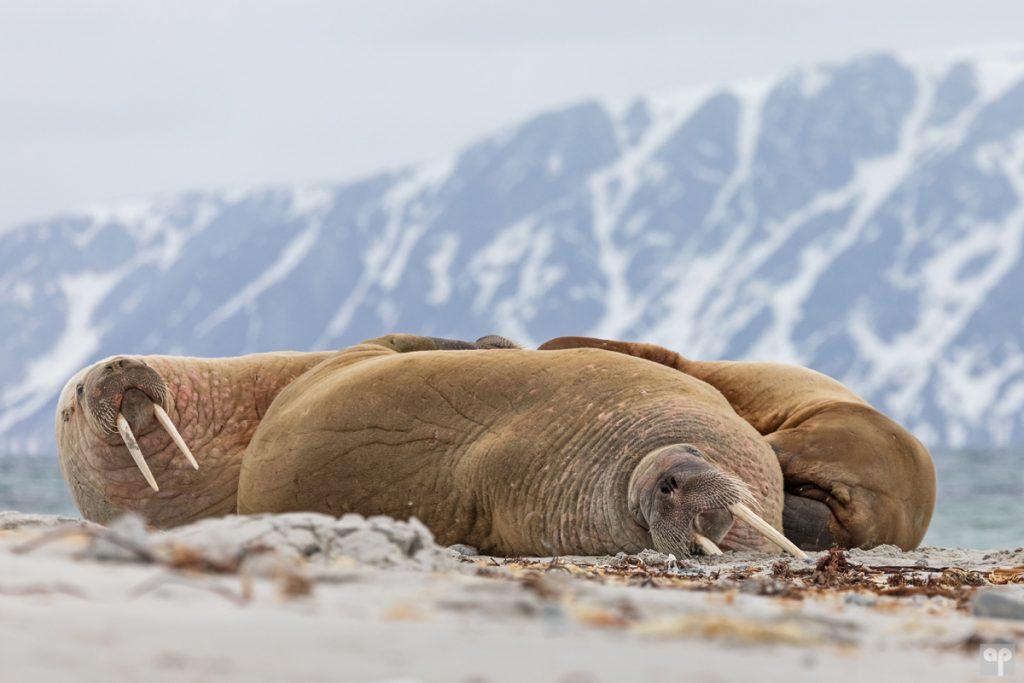 Svalbard - Walross